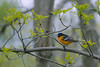 Baltimore Oriole, 7018 HPC (May 2013)