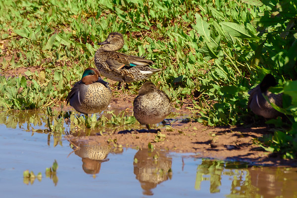 Green-winged Teal at the Riparian Preserve, Gilbert AZ (25 February 2015)