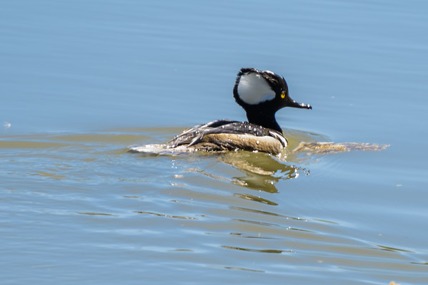 Hooded Merganser at the Riparian Preserve, Gilbert AZ (25 February 2015)