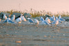 Gulls Migrating, Saylorville Lake Area (September 2007)