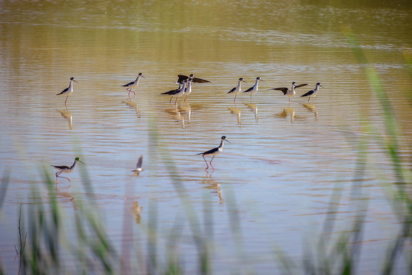 Black-necked Stilt at the Riparian Preserve, Gilbert AZ (25 February 2015)