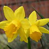 Tete a Tete daffodil, a multiheaded daffodil, one of our spring bulbs