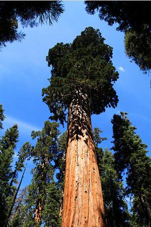 Giant Sequoia In Sequoia National Park