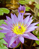 Amanoka Villa, Discovery Bay, Saint Ann Parish, Jamaica.  A purple water lily (Nymphaeaceae) blooms in a reflecting pool.  © Rick Collier