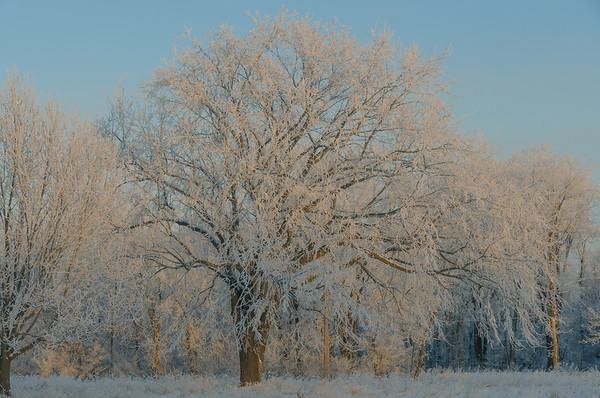 American Elm Frosted In Winter, Johnston IA (December 2010)