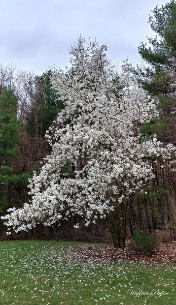 White Magnolia tree - April 20, 2019.