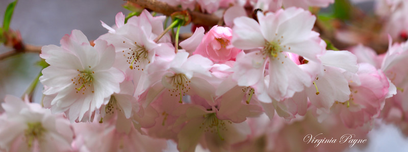 Autumn Cherry Blossoms.