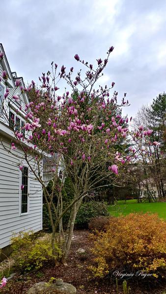 Pink Magnolia - May 10, 2019.