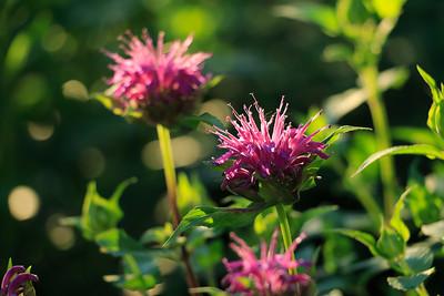 Wild bergamot or bee balm.