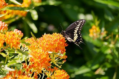 Black swallowtail butterfly on butterflyweed.