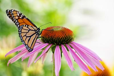 Monarch butterfly on purple coneflower.