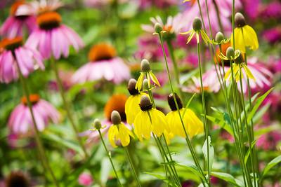 Prairie coneflower, purple coneflower and bee balm in background.