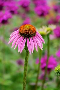 Purple coneflower and bee balm.