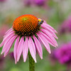 Purple coneflower with small native bee. Bee balm in background.