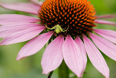 Crab spider waiting in ambush on purple coneflower