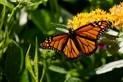 Monarch butterfly on butterflyweed.