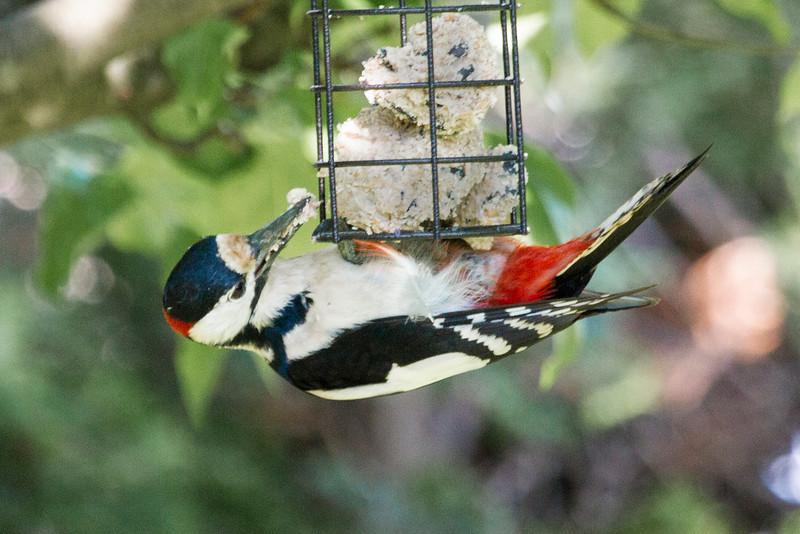 Hungry Woodpecker