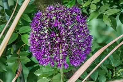 Allium with buds