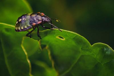 Nymph of the green stinkbug