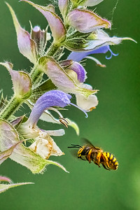 Clary Sage with bee (?)
