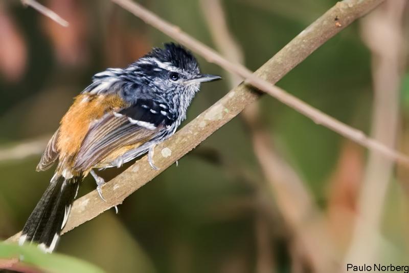 Drymophilla ochropyga<br /> Choquinha-de-dorso-vermelho<br /> Ochre-rumped Antbird<br /> Tiluchí dorso rojo
