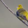 Sicalis citrina<br /> Canário-rasteiro<br /> Stripe-tailed Yellow-Finch<br /> Jilguero cola blanca