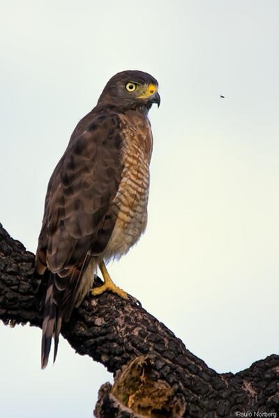 Rupornis magnirostris<br /> Gavião-carijó<br /> Roadside Hawk<br /> Taguató - Yndaje