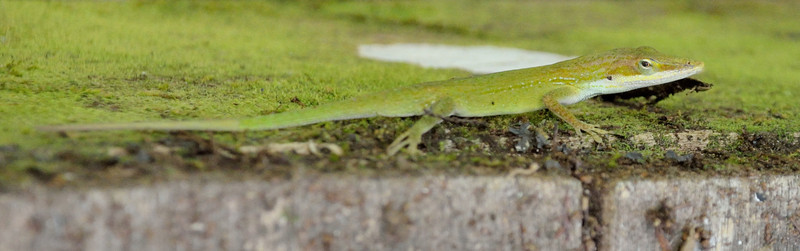 Green Anole, Corkscrew Sanctuary Swamp, Florida, May 2012
