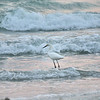 Egret in the Surf, Florida, May 2012