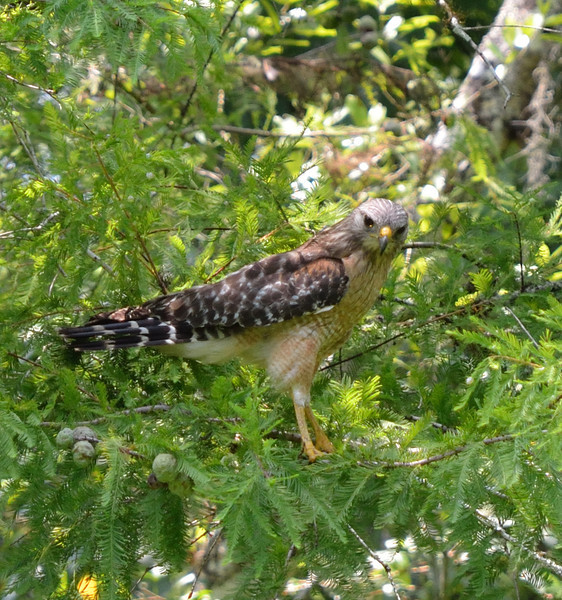 Red Shouldered Hawk, Corkscrew Sanctuary Swamp, Florida, May 2012