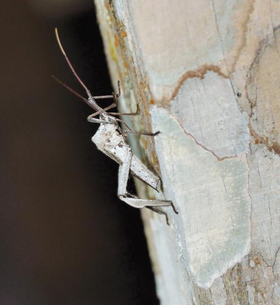 Leaf-footed Bug, Corkscrew Sanctuary Swamp, Florida, May 2012