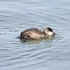 Male Ruddy Duck (Non-breeding Plumage)