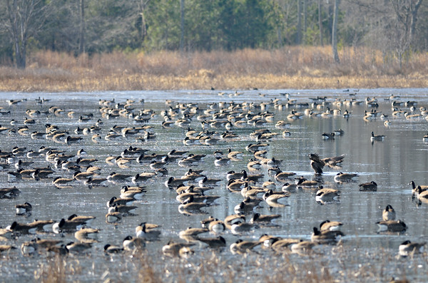 Blackwater National Wildlife Refuge - February 8, 2015