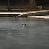 Barton Springs, Austin TX, Faux Duck