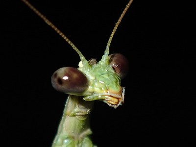 Praying Mantis, Walking Stick