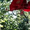 Septebmer 7, 2013.  Ruby-Throated Hummingbird at 1/10 speed
