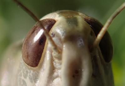 Grasshoppers, Katydids, Crickets