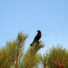 Red Wing Blackbird, Ferry Point Park