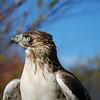 Easton Waterfowl Festival