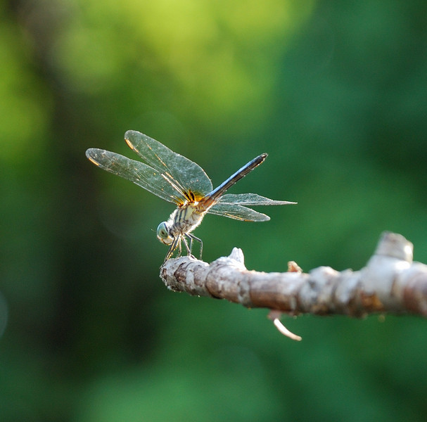 Dragonfly in the backyard.