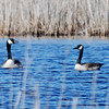 Canada Geese at Prime Hook National Wildlife Refuge