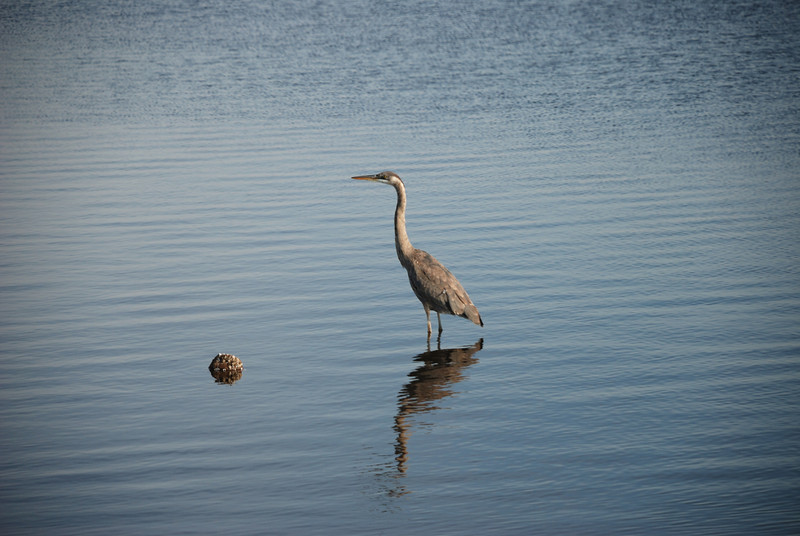 Blackwater National Wildlife Refuge - 01/16/11<br /> <br /> Great Blue Heron