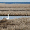 Mute Swan - Near Elliott Island, Maryland