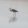 Blue Heron Hunting - Elliott Island, Maryland