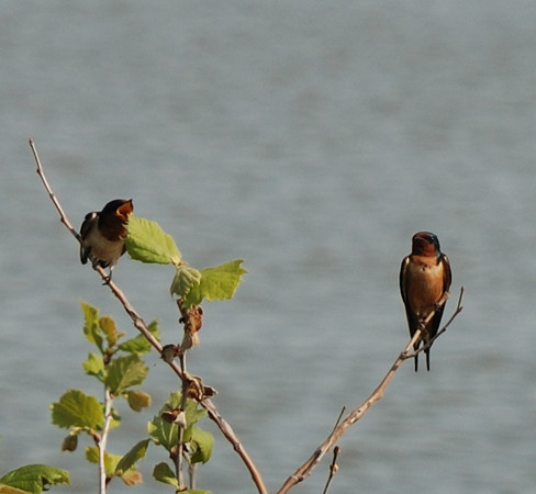 Barn Swallows - Havre de Grace, Maryland