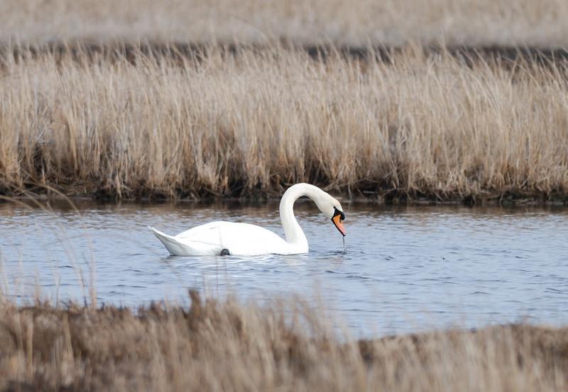 Mute Swan - Near Elliott Island, Maryland