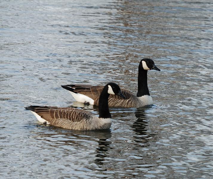Canadian Geese - Salisbury, Maryland - 02/26/11