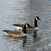 Canadian Geese - Salisbury, Maryland - 02/26/11