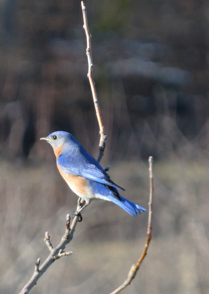 Male Bluebird - Charlottesville, VA - March 9, 2013