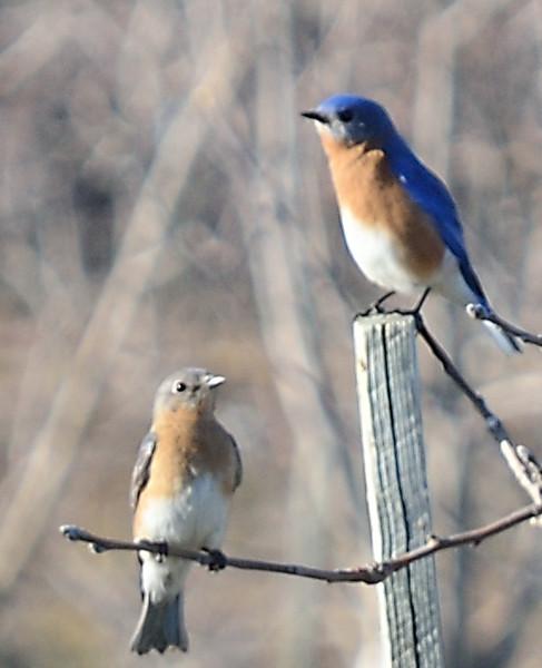 Bluebirds - Charlottesville, VA - March 9, 2013